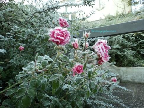 Bunga Mawarnya masih terlihat bentuk bunganya ya walau sudah terkena es