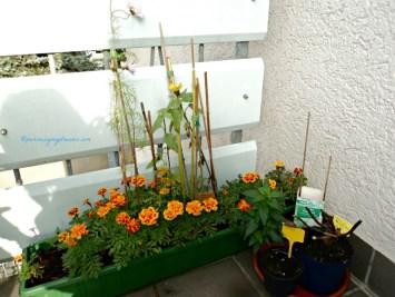 Marigold cantik ya, kita bisa dapatkan benih bunganya lagi, jika bunganya sudah rontok, benihnya tersimpan di blogkolnya