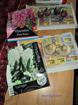 Umbi Hyacint Putih dan Pink dari Tahun lalu