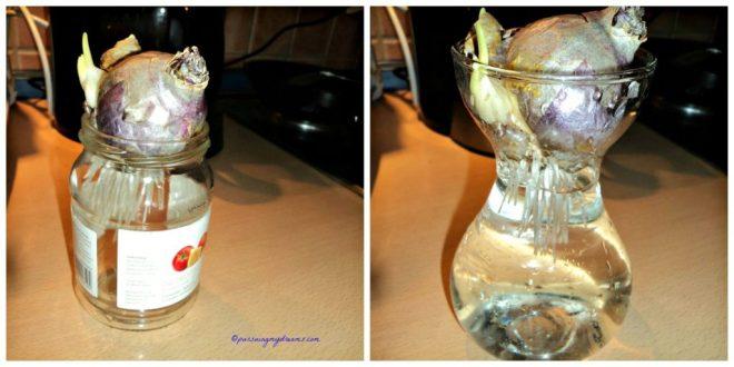 Kalau tidak punya botol atau vas khusus Hyacinth bisa gunakan wadah bekas selai seperti foto kiri