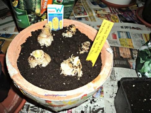Di satu pot saya tanam Hyacint Putih 2 umbi dan 3 umbi Hyacint kuning