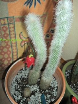 Cleisto Cactus 18 Januari 2014