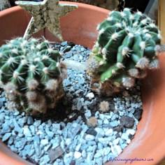 Echinopsis 9 Januari 2014