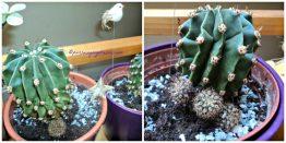 Echinopsis Tegeleriana. Entah nama belakangnya benar atau tidak