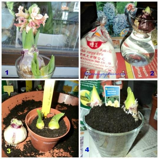 Bunga Hyacinth nanam lagi yukk