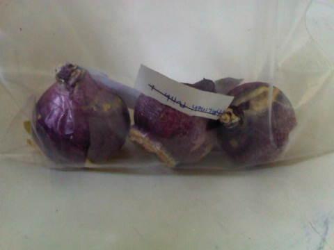 Contoh umbi hyacinth yang di bungkus pakai plastik ziplock