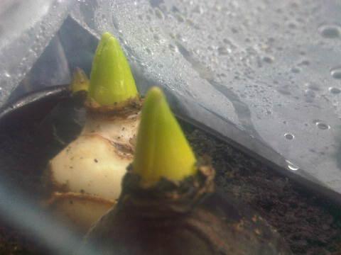 Hyacinth-hyacinth sudah mulai besar tunasnya