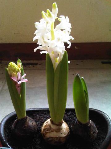 Ternyata Hyacinth yang tengah warnanya sesungguhnya putih. Hyacint punya Steven di Jakarta