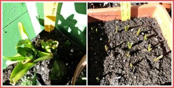 Kiri Hyacint umbinya dari 2 thn lalu, jelek jadi mau besarin umbinya dulu