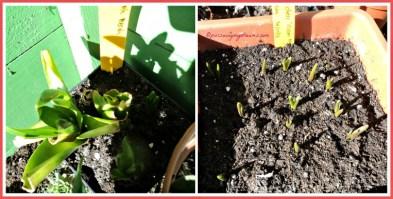 Kiri Hyacint umbinya dari 2 thn lalu, jelek jadi mau besarin umbinya dulu. Kanan Grape Hyacint masih segitu-gitu aja ukurannya