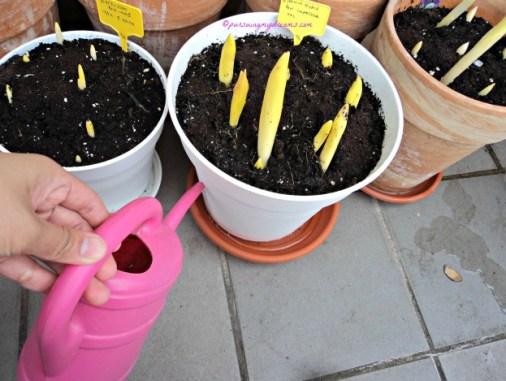 Air saya tuang ke tatakan pot tanaman, air akan terserap ke akar tanamannya langsung. Saya lakukan hal ini untuk tanaman berumbi mirip bawang seperti tulip