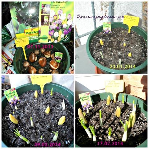 Black Parrot Tulip Kakatua Hitam. Nanam bibit tulip hitam black Parrot. Setelah 2 bulan mulai terlihat pertumbuhannya