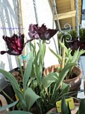 Tulip 'Black Parrot' adalah tulip hitam eksotis. Salah satu bunga yang paling glamor, intinya cakeppp gitu deh ya