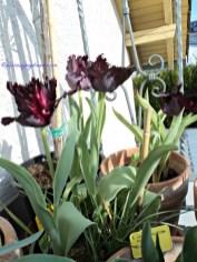 Tulip 'Black Parrot' adalah tulip hitam eksotis