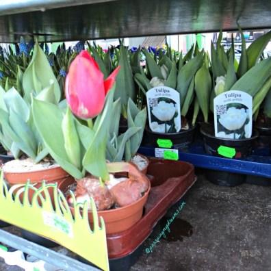 Tulip-tulipnya juga cantik, apalagi yang putih di bagian dalam tuhh keliatan kan