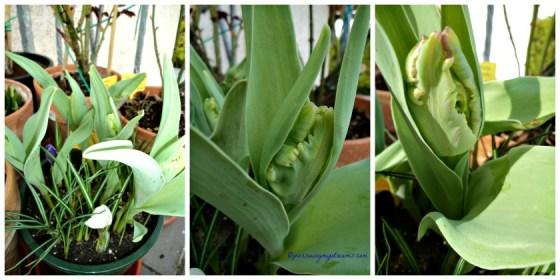 Tulip Kakatua nanam warna hitam ternyata bukan sim salabim eh munculnya warna hijau. Belum mekar sempurna
