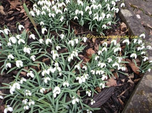 Die Schneeglöckchen (Galanthus) atau Snowdrop