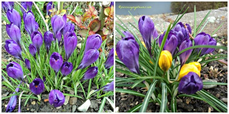 Bunga Crocus. Jika bunga ini sudah mekar ditaman-taman berarti sudah musim semi