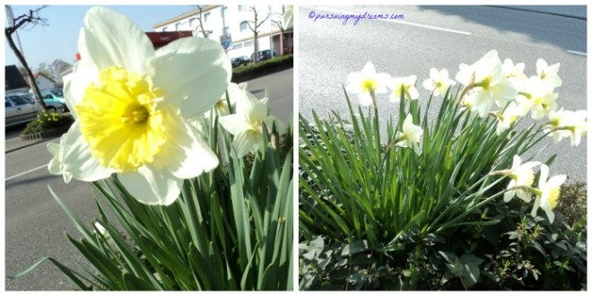Bunga Dafodil (Narcissus) tumbuh liar di tepi jalan