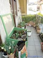 Balkonku. satu pot Narcissus bagian depan hampir mekar sempurna