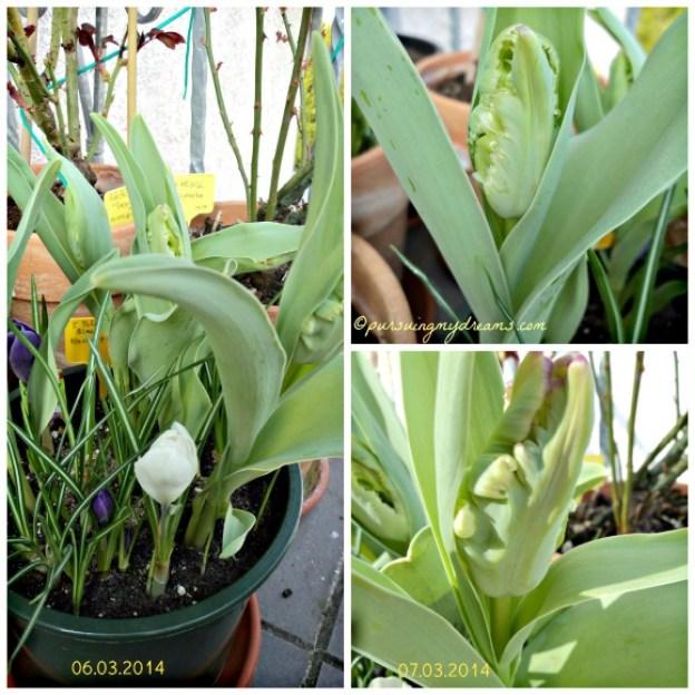 Pertumbuhan Tulip Black Parrot. yang berwarna putih dan ungu adalah bunga Krokus