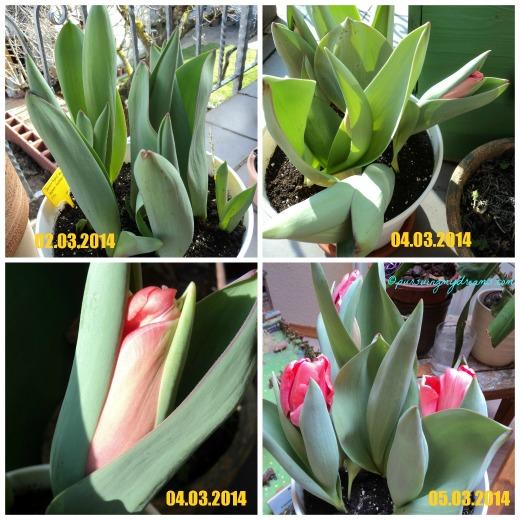 Pertumbuhan Tulip Darwin Hibrid Salmon Imp. Jika bibitnya sudah tumbuh maka akan cepat sekali pertumbuhannya
