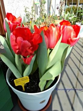 7 Maret Mekar sudah Maksimal, mau saya Potong dan taruh di vas bunga