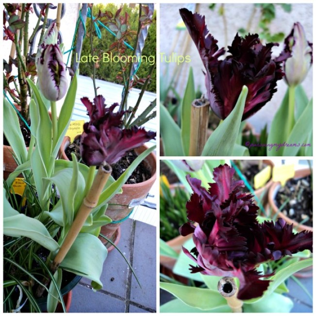 Late Blooming Tulips. Tulip Black Parrot
