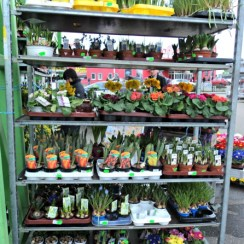 Saya suka sekali keliling retail tanaman, senang melihat banyak bunga-bunga yang dijual, walau tidak beli puas lihat warna warninya