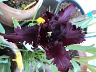 Tampak atas Tulip 'Black Parrot'