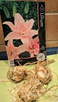 Bibit Umbi Bunga Lili Pink Elodie