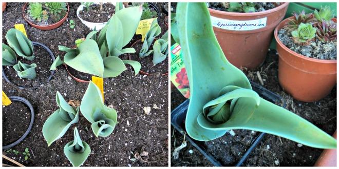 Tulip-tulipnya keliatan tumbuh bagus kan, tapi tidak satupun berbunga huhu. Foto kanan sudah terlihat bakal bunga tapi tidak mekar huhuhu