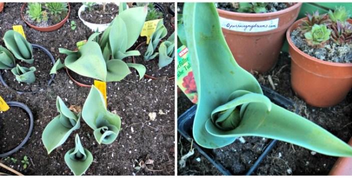 Bunga-bunga Musim Semi yang Gagal. Tulip-tulipnya keliatan tumbuh bagus kan, tapi tidak satupun berbunga huhu. Foto kanan sudah terlihat bakal bunga tapi tidak mekar huhuhu