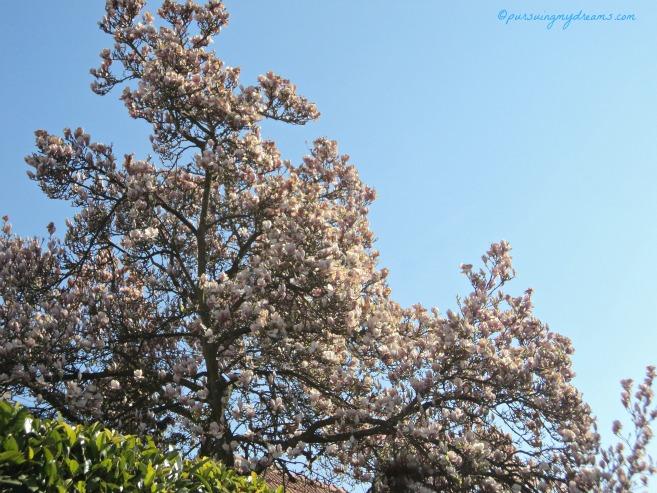 Pohon Magnolia di taman rumah orang hampir semuanya tinggi menjulang, pastinya karena sudah ditanam puluhan tahun