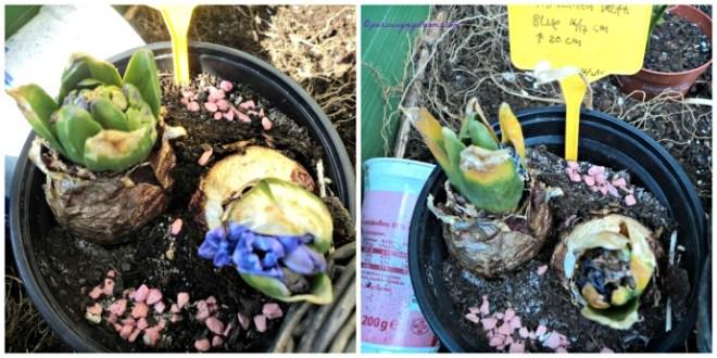 Hyacint biru bantet batangnya tidak tumbuh jadi bunganya tidak mekar sempurna