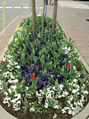 Tulip-tulipnya masih pada kuncup. bunga yang warna putih tersebut namanya bunga ibu tiri alias Step mother flower