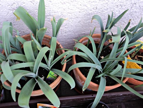 Allium yang lebih besar. Untung sebelum mati kepanasan sudah kupindahkan potnya ketempat teduh