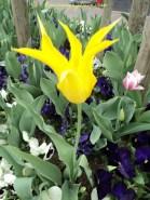 Beginilah Bnetuk Tulip Lili, dinamakan seperti itu karena bentuk bunganya mirip bentuk Bunga Lili