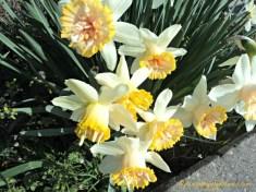 Bunga Daffodil ini Bentuknya unik sekali ya