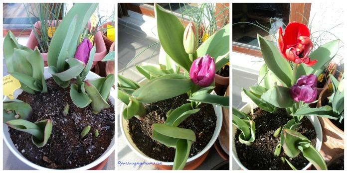 Nanam 8 biji tulip Red Impression hanya 2 yang keluar bunganya