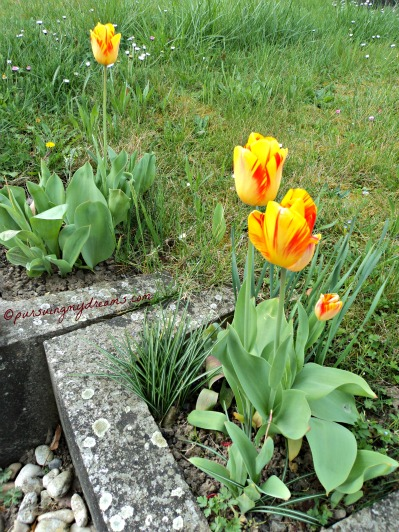 Tulip yang ditanam di taman begini akan terus berbunga setiap tahun karena akar bulbnya leluasa mencari makanan dalam
