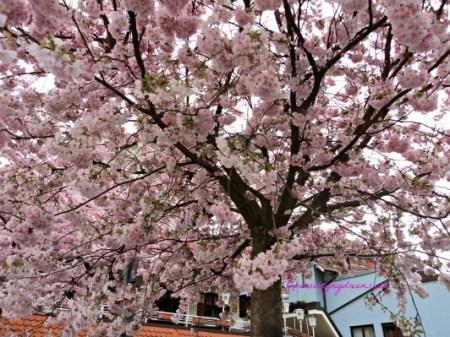 Blooming cherry trees in Bad Rappenau Germany