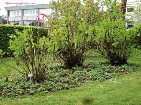 Ada 3 Pohon Peony ludlowii, belum ada yang mekar bakal bunganya