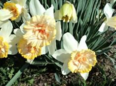 Bunga Daffodil yang tumbuh liar di tepi jalan