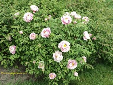 Rame banget ya bunga-bunganya. Cantik Bunga Peony