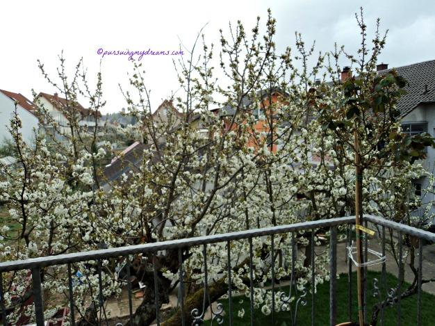 Semakin Banyak Bunga-bunga Pohon Ceri yang Mekar. 3 April 2014