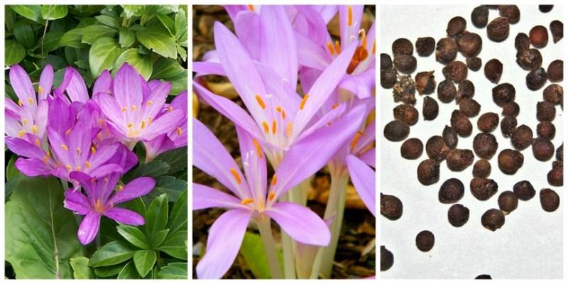 10 Tanaman Beracun, Jauhkan dari Anak-anak. Colchicum autumnale. Herbstzeitlose. Autumn crocus. . Foto dari Wikipedia
