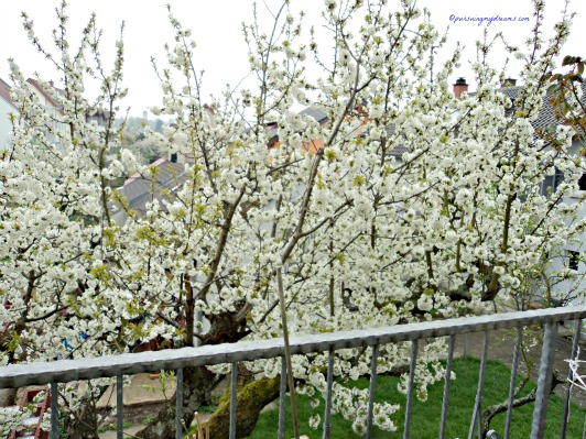 White cherry blossom in Germany
