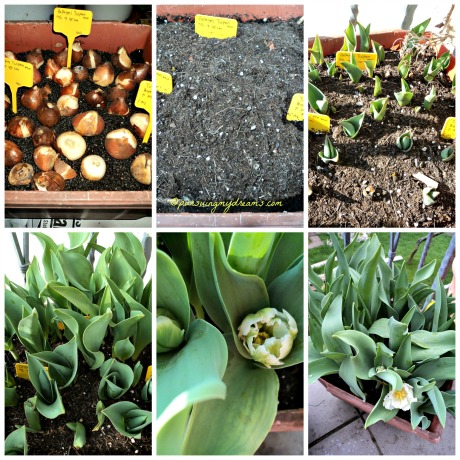 Tulip Crispa, Parrot dan Dobel Flower tanam di satu pot besar. Hanya beberapa yang mekar. Kecewa huhuhu