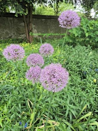 Bunga Allium Ungu